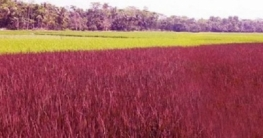 বেগুনি রঙের ধান নিয়ে সারাদেশে তোলপাড়