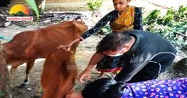নানিয়ারচরে গবাদি পশুর টিকাদান ক্যাম্পেইন অনুষ্ঠিত