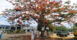 মাটিরাঙ্গা পৌরসভার প্রবেশদ্বারে সৌন্দর্য ছড়াচ্ছে কৃষ্ণচূড়া