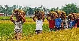 কমলগঞ্জে কৃষকের ধান কেটে ঘরে তুলে দিল যুবলীগ